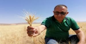 Kuraklık Ahlat'ta buğday verimini yüzde 60 düşürdü
