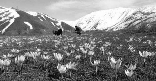Bitlis'te çiğdemler eşsiz manzaralar oluşturuyor