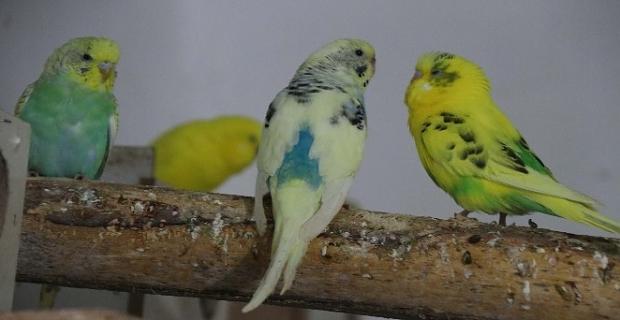 Bitlis'li antrenör evinde 130 kuşla yaşıyor
