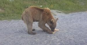 Kardeş boz ayılarla Nemrut'un ziyaretçileri arttı