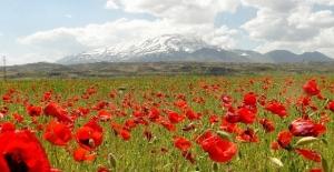 Süphan dağı ve gelincik çiçeklerinin muhteşem manzarası