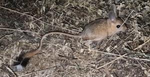 Dünyanın en ilginç hayvanlarından biri Bitlis'te görüldü!